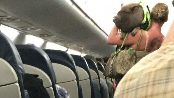 ¿Qué hacía este cerdo vietnamita en un avión?