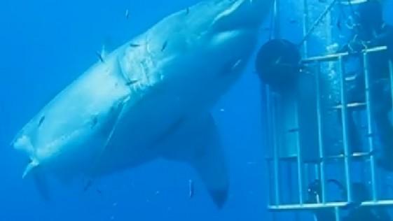 El tiburón blanco gigante grabado en Isla Guadalupe y las jaulas para turistas